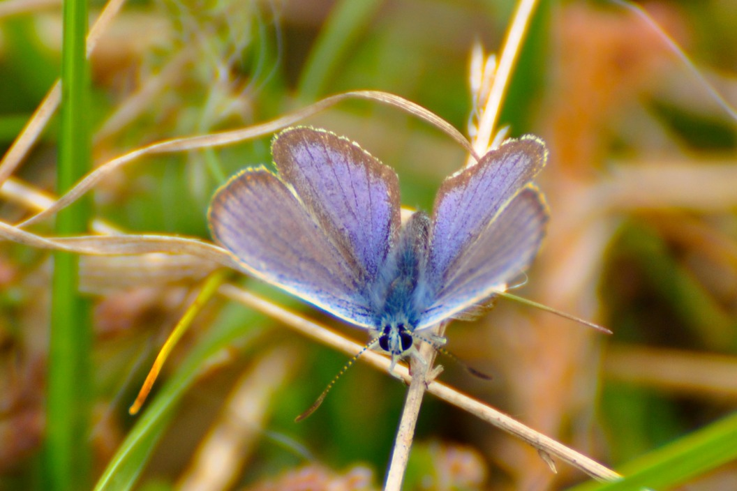 Heide - heideblauwtje
