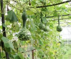 Avond over Pompoenen & exotische komkommerachtigen
