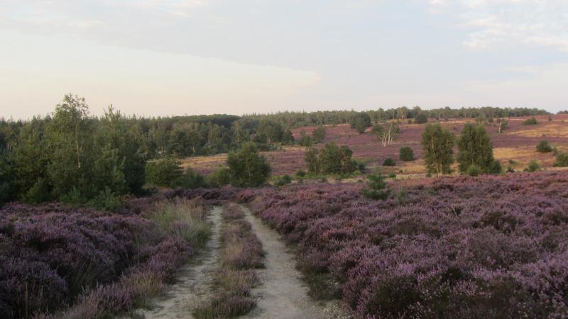 IVN-wandeling over de bloeiende heide