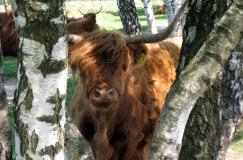Langs Hereford Rund en Schotse Hooglander (48 km)