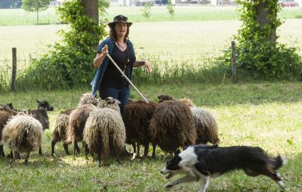 Demonstratie schapen drijven