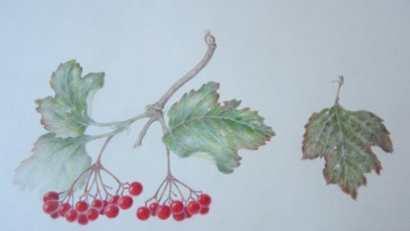 Expositie: Rikie van Brakel Botanische tekeningen