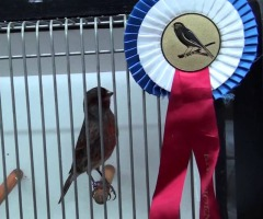 Afgelast: Vogelshow Haaksbergen & Omstreken