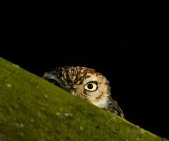 Roepende uilen in het donker