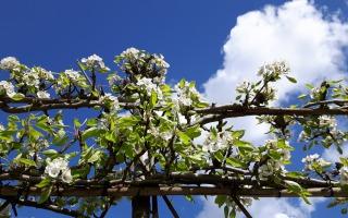 Fruitbomen enten