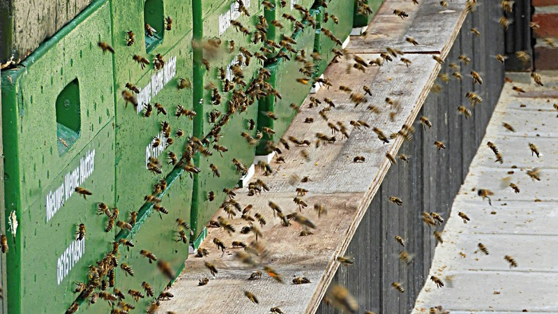 Bezige bijen bekijken