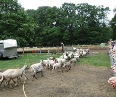 De schapen worden geschoren bij Twilhaar