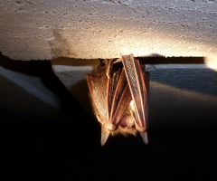 Vleermuizen op het Hakenberg