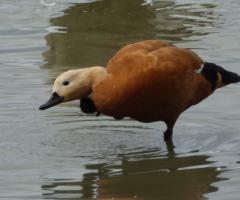 Vogelherkenningscursus watervogels