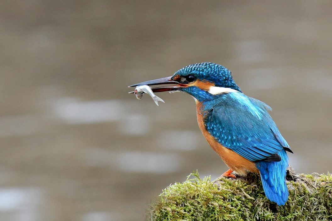 Het Hulsbeek: Ijsvogel