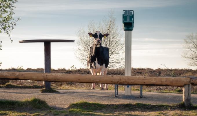 Liesje22: 's Werelds eerste cowfluencer ontdekt Twente.