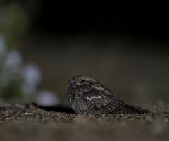Nachtzwaluwen van de Sallandse Heuvelrug