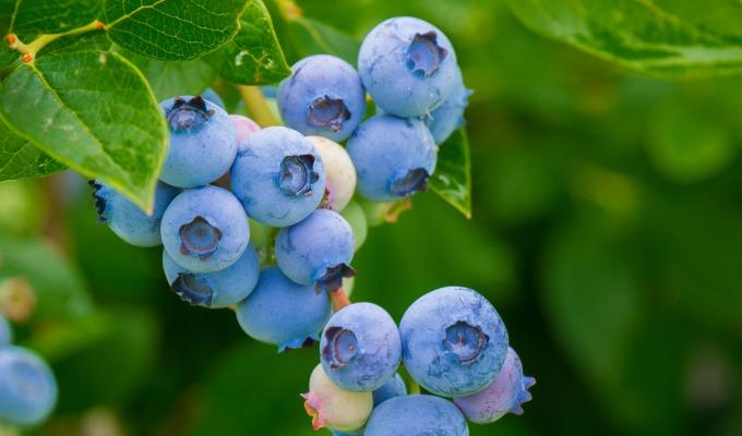 Pluk je eigen blauwe bessen op het zelfplukland van de Greftenhoeve!