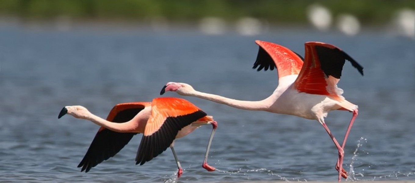 Flamingo's in het Ketelmeer
