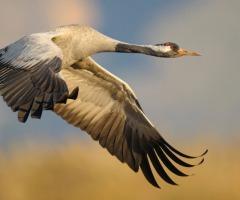 Kraanvogels vliegen over