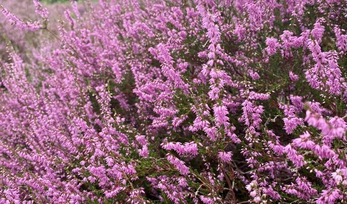 Nog even genieten van de prachtige paarse heide
