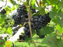 Wijngaard de Varsenerhof