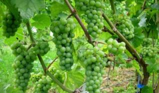 Wijngaard Maronesse