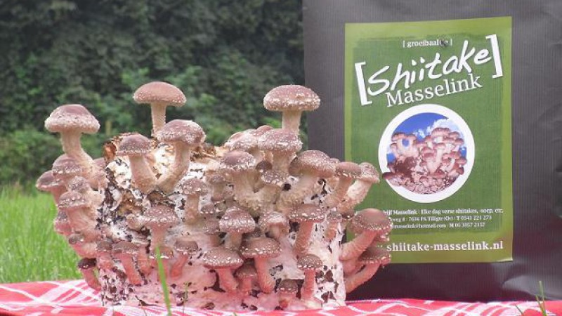 Shiitake bedrijf Masselink